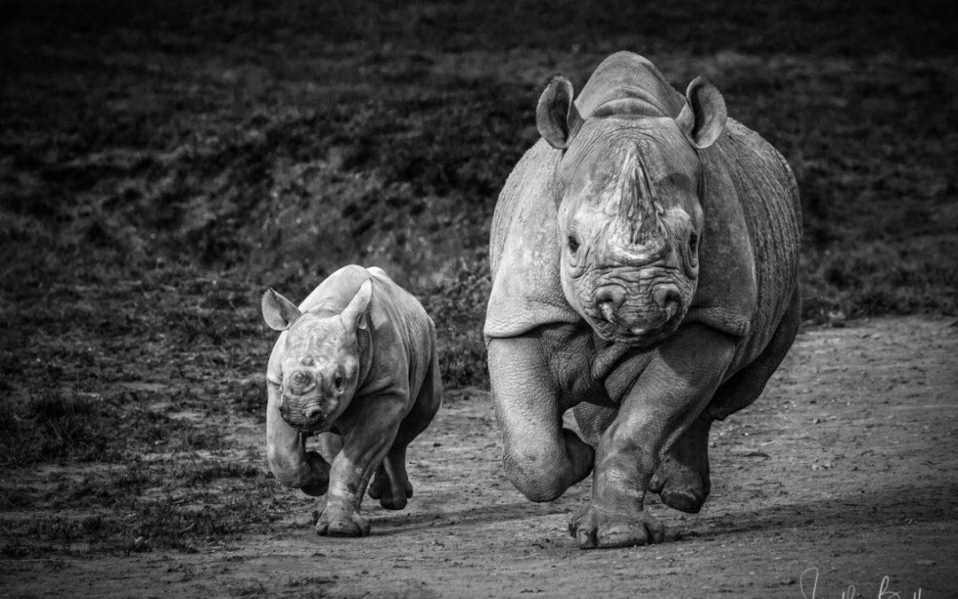 Howletts Rhinos