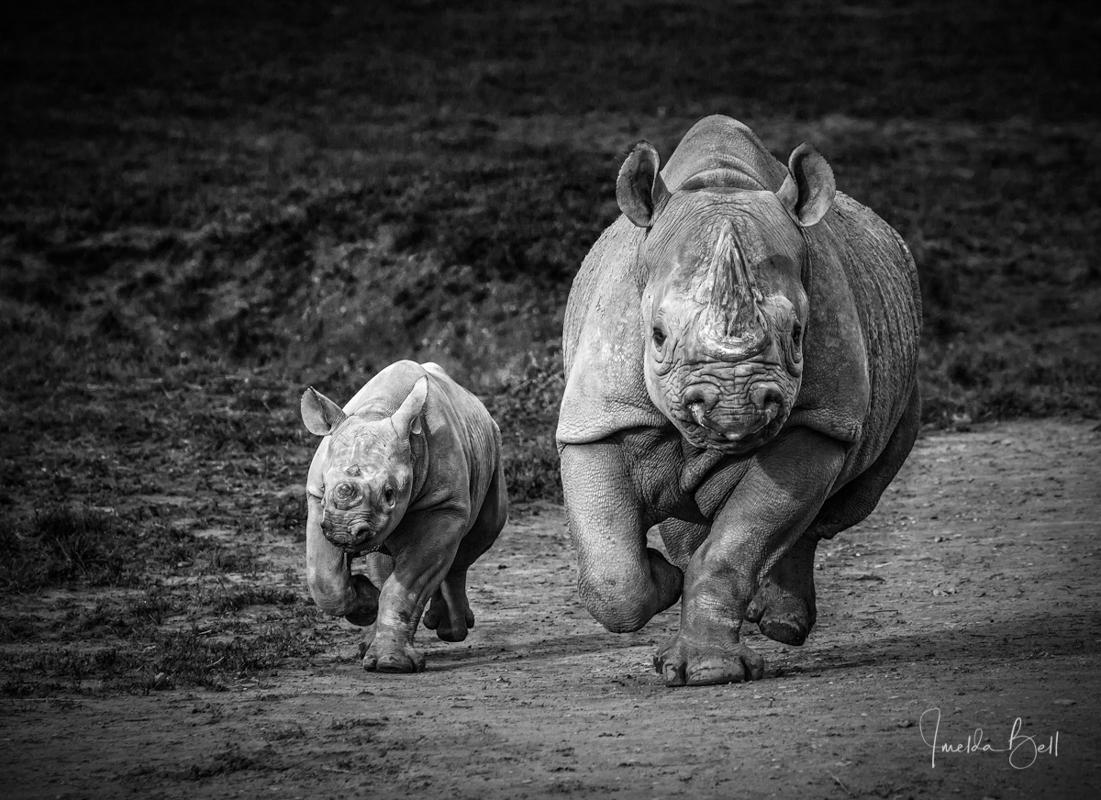 black rhino mom and calf